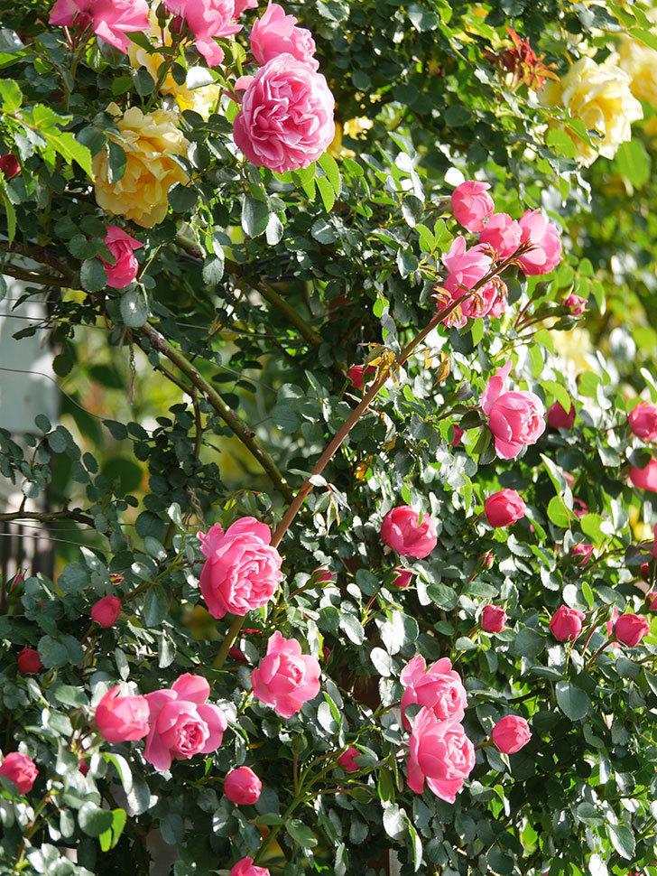 レオナルド・ダ・ヴィンチ(Leonard da Vinci)の花がたくさん咲いた。半ツルバラ。2021年-008.jpg