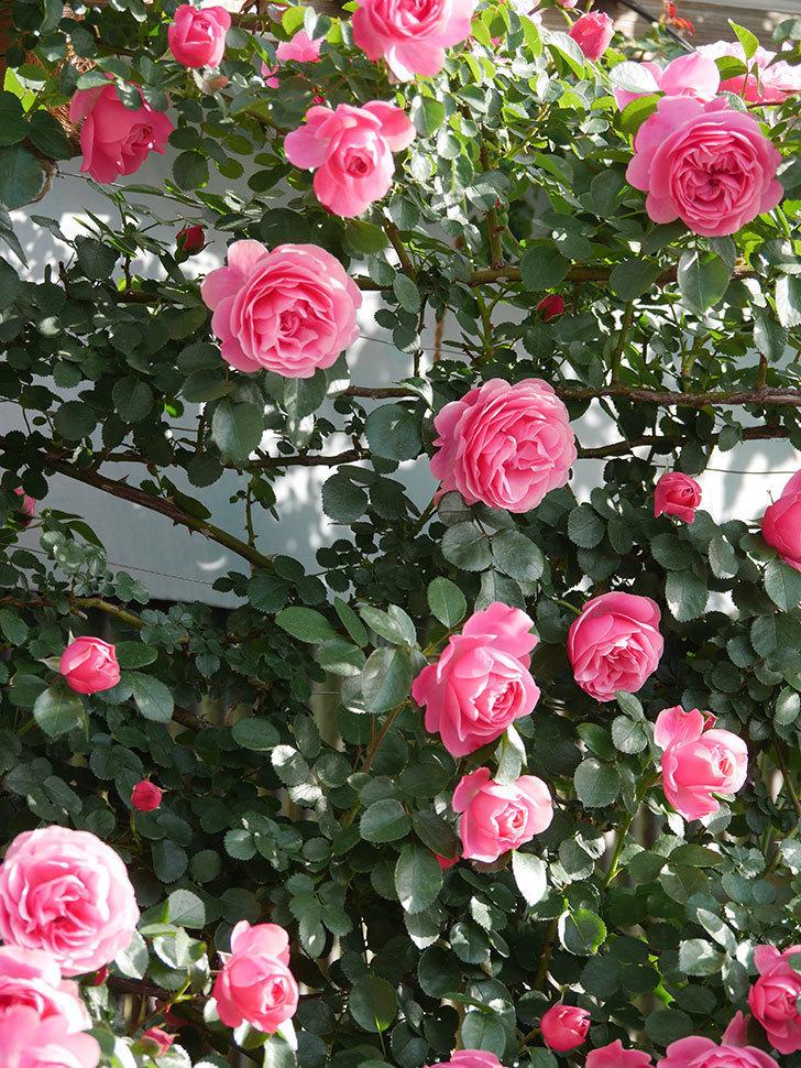 レオナルド・ダ・ヴィンチ(Leonard da Vinci)の花がたくさん咲いた。半ツルバラ。2021年-009.jpg
