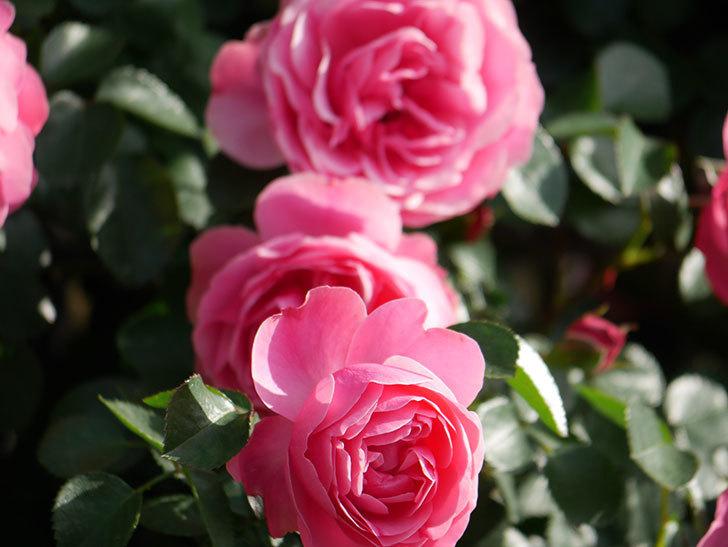 レオナルド・ダ・ヴィンチ(Leonard da Vinci)の花がたくさん咲いた。半ツルバラ。2021年-012.jpg