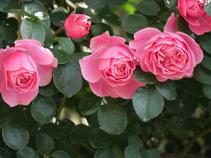レオナルド・ダ・ヴィンチ(Leonard da Vinci)の花がたくさん咲いた。半ツルバラ。2021年-013.jpg