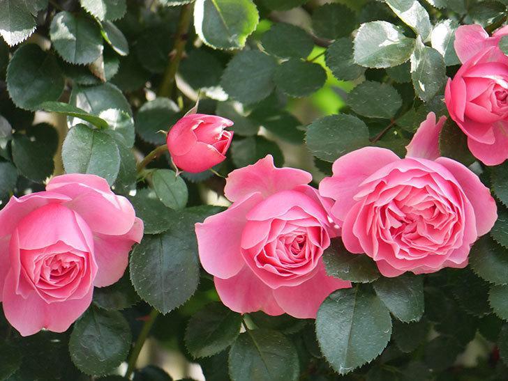 レオナルド・ダ・ヴィンチ(Leonard da Vinci)の花がたくさん咲いた。半ツルバラ。2021年-014.jpg
