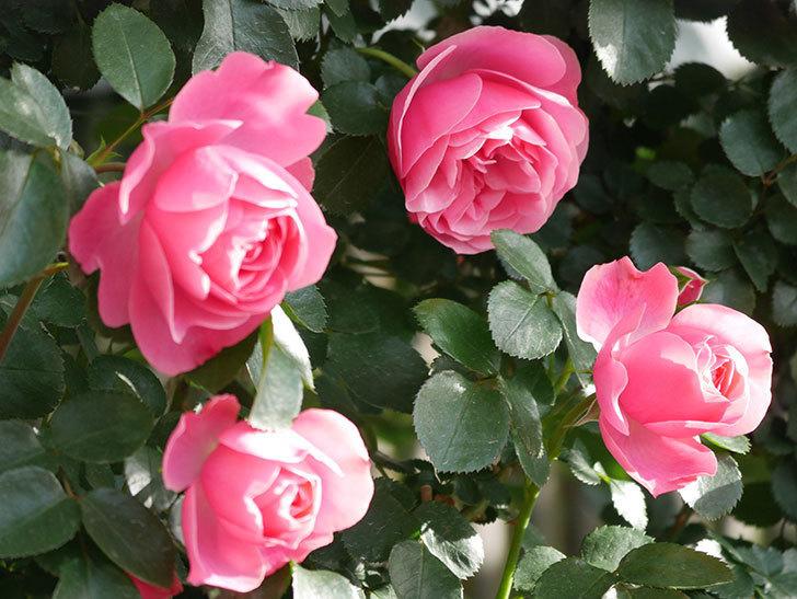 レオナルド・ダ・ヴィンチ(Leonard da Vinci)の花がたくさん咲いた。半ツルバラ。2021年-015.jpg