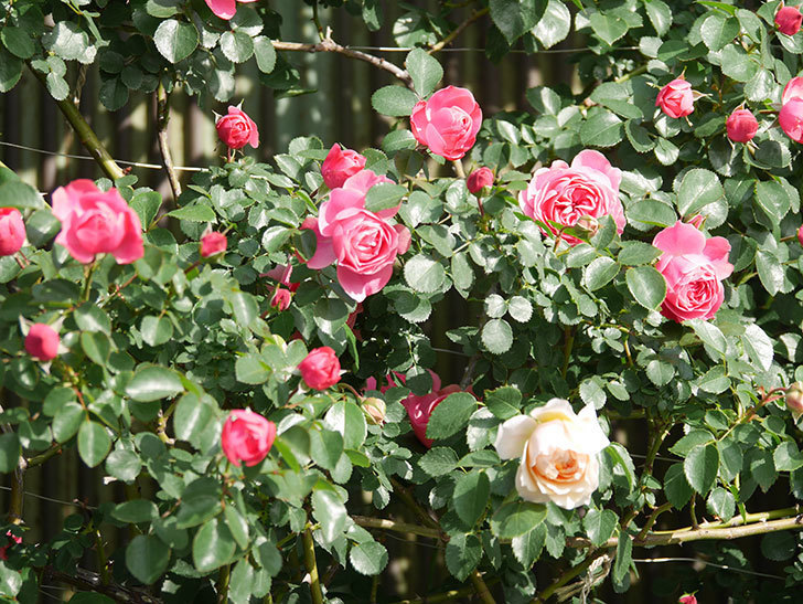 レオナルド・ダ・ヴィンチ(Leonard da Vinci)の花がたくさん咲いた。半ツルバラ。2021年-017.jpg