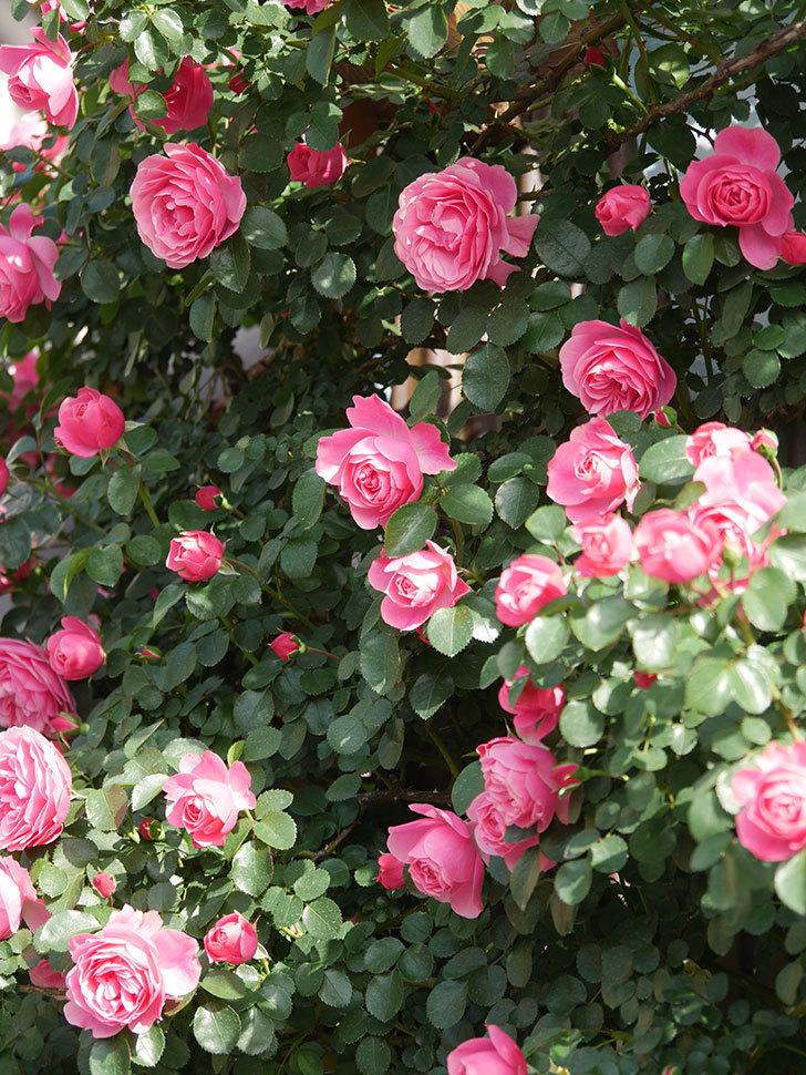 レオナルド・ダ・ヴィンチ(Leonard da Vinci)の花がたくさん咲いた。半ツルバラ。2021年-019.jpg