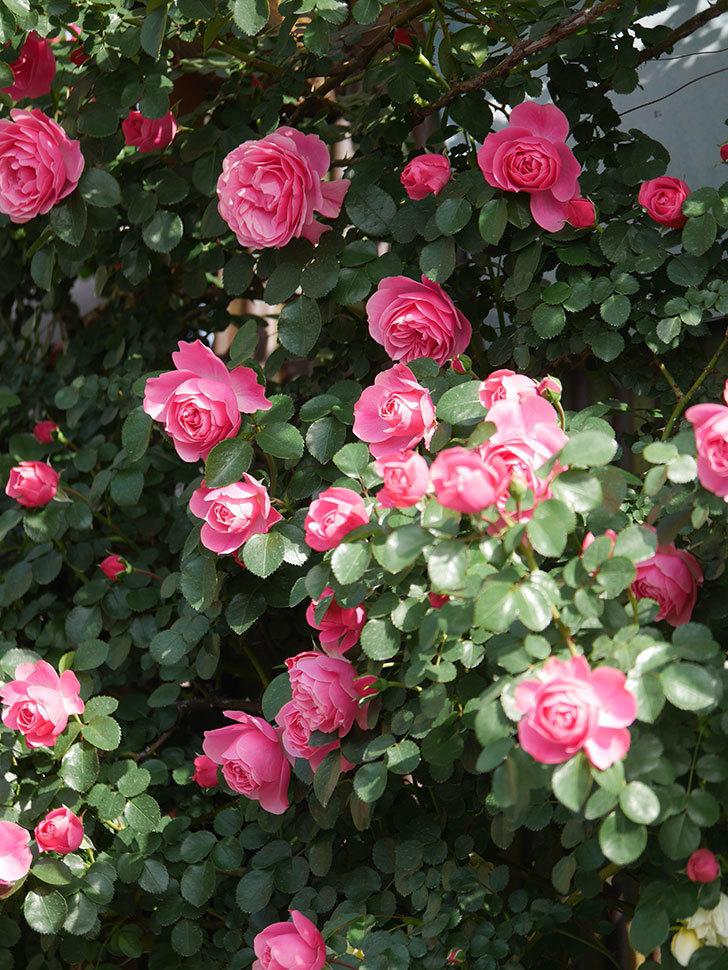 レオナルド・ダ・ヴィンチ(Leonard da Vinci)の花がたくさん咲いた。半ツルバラ。2021年-020.jpg