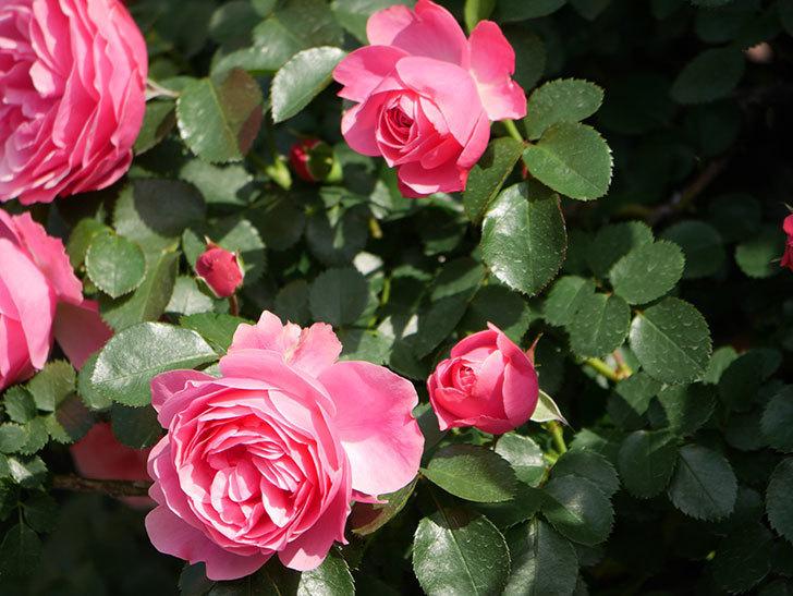 レオナルド・ダ・ヴィンチ(Leonard da Vinci)の花がたくさん咲いた。半ツルバラ。2021年-022.jpg