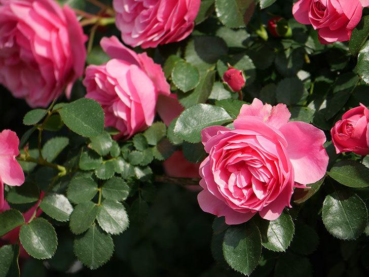 レオナルド・ダ・ヴィンチ(Leonard da Vinci)の花がたくさん咲いた。半ツルバラ。2021年-023.jpg