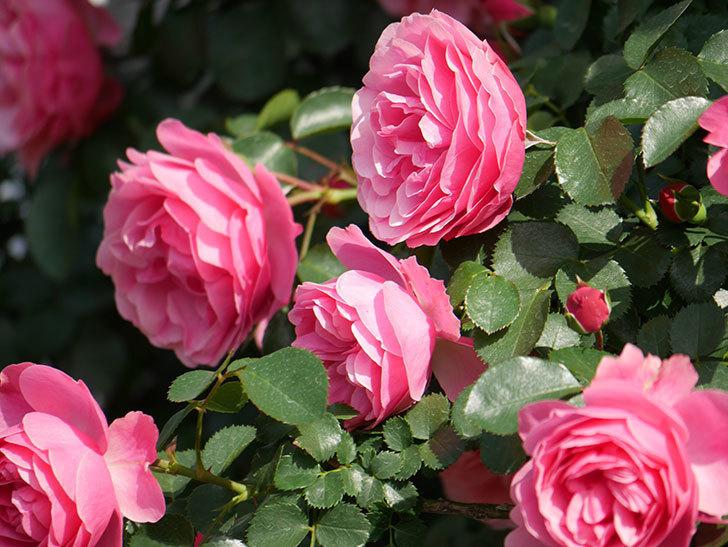 レオナルド・ダ・ヴィンチ(Leonard da Vinci)の花がたくさん咲いた。半ツルバラ。2021年-024.jpg