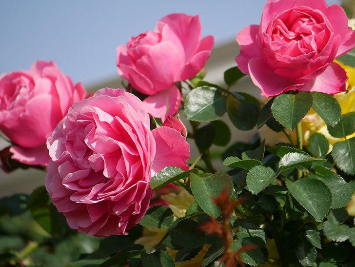 レオナルド・ダ・ヴィンチ(Leonard da Vinci)の花がたくさん咲いた。半ツルバラ。2021年-026.jpg