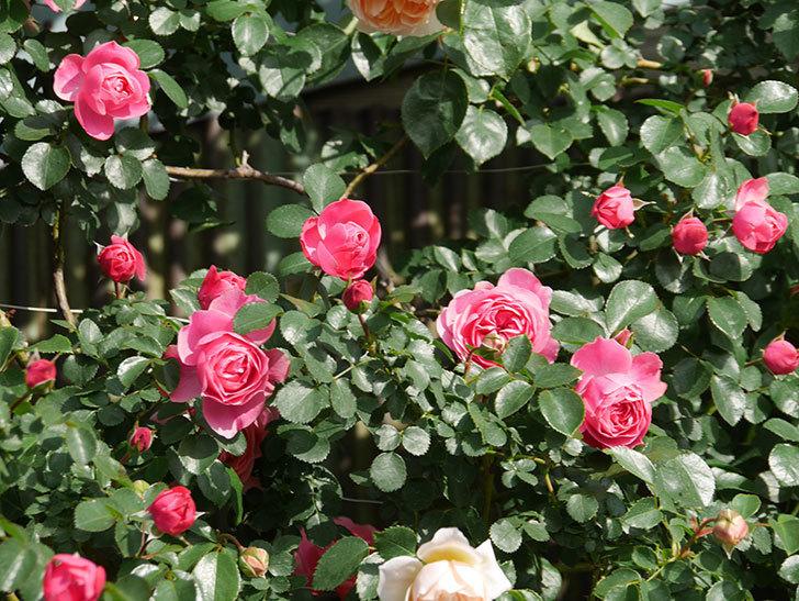 レオナルド・ダ・ヴィンチ(Leonard da Vinci)の花がたくさん咲いた。半ツルバラ。2021年-027.jpg