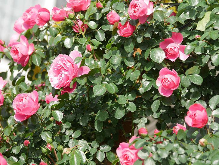 レオナルド・ダ・ヴィンチ(Leonard da Vinci)の花がたくさん咲いた。半ツルバラ。2021年-028.jpg