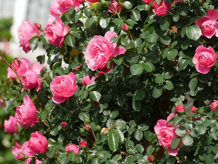 レオナルド・ダ・ヴィンチ(Leonard da Vinci)の花がたくさん咲いた。半ツルバラ。2021年-029.jpg