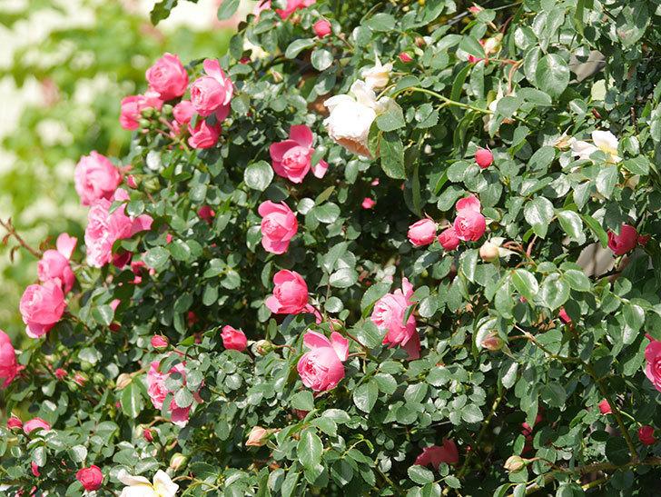 レオナルド・ダ・ヴィンチ(Leonard da Vinci)の花がたくさん咲いた。半ツルバラ。2021年-030.jpg