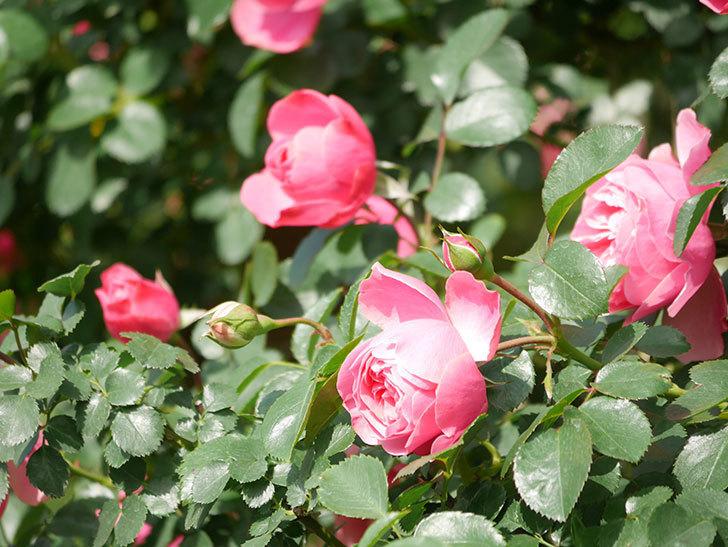 レオナルド・ダ・ヴィンチ(Leonard da Vinci)の花がたくさん咲いた。半ツルバラ。2021年-033.jpg