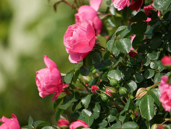 レオナルド・ダ・ヴィンチ(Leonard da Vinci)の花がたくさん咲いた。半ツルバラ。2021年-035.jpg
