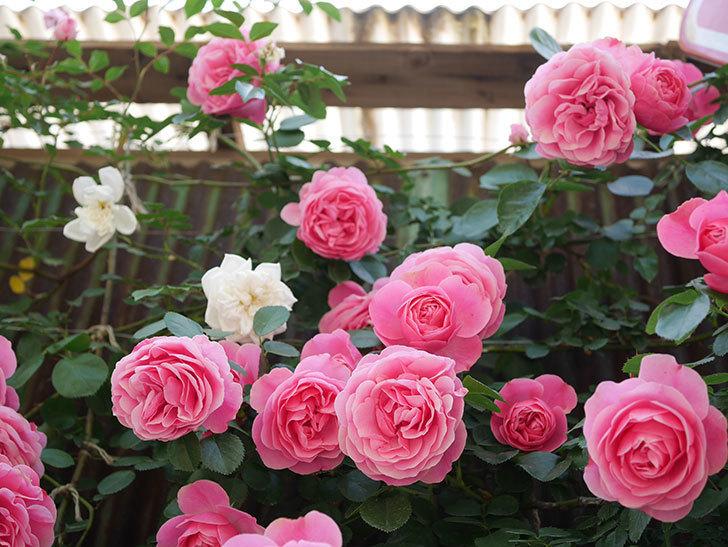 レオナルド・ダ・ヴィンチ(Leonard da Vinci)の花がたくさん咲いた。半ツルバラ。2021年-038.jpg