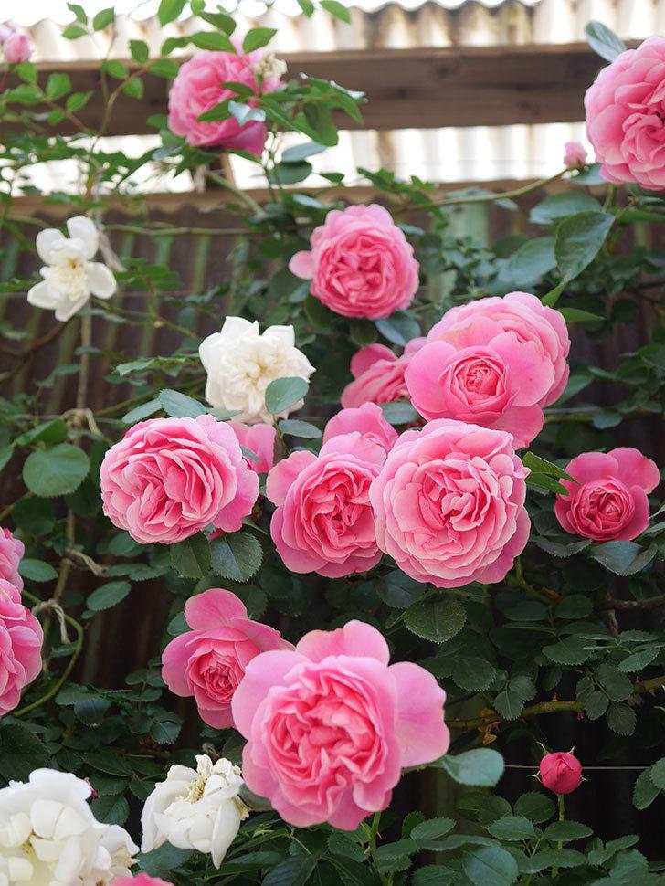 レオナルド・ダ・ヴィンチ(Leonard da Vinci)の花がたくさん咲いた。半ツルバラ。2021年-039.jpg