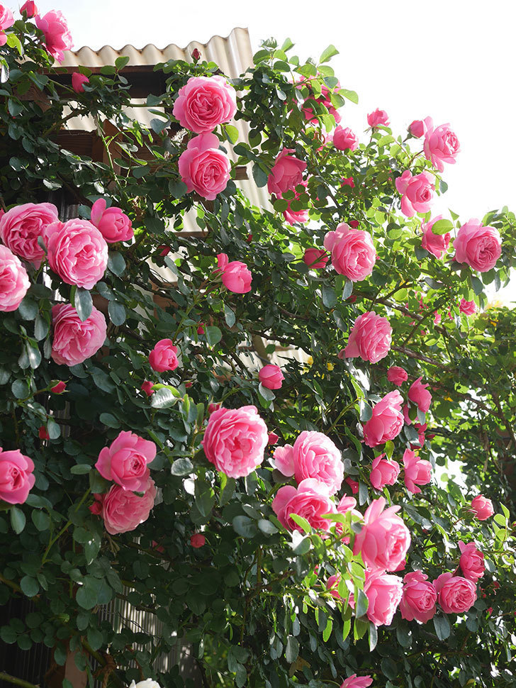 レオナルド・ダ・ヴィンチ(Leonard da Vinci)の花がたくさん咲いた。半ツルバラ。2021年-040.jpg