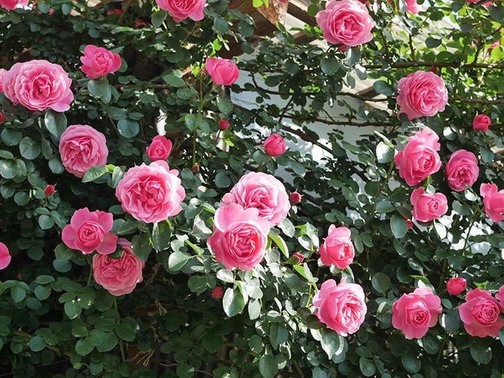 レオナルド・ダ・ヴィンチ(Leonard da Vinci)の花がたくさん咲いた。半ツルバラ。2021年-041.jpg