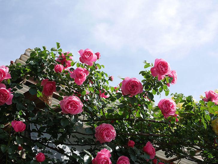 レオナルド・ダ・ヴィンチ(Leonard da Vinci)の花がたくさん咲いた。半ツルバラ。2021年-042.jpg