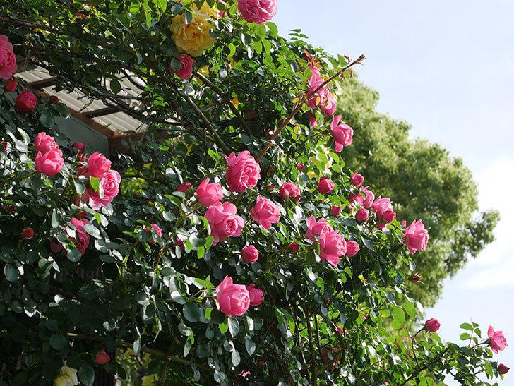 レオナルド・ダ・ヴィンチ(Leonard da Vinci)の花がたくさん咲いた。半ツルバラ。2021年-043.jpg