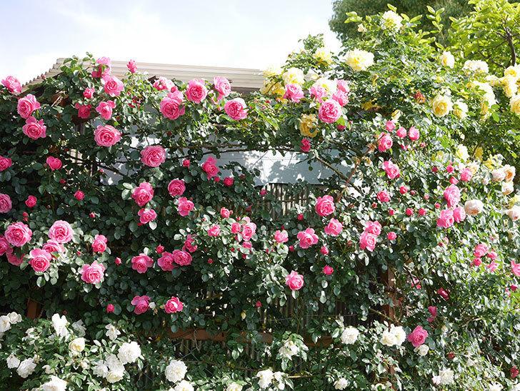 レオナルド・ダ・ヴィンチ(Leonard da Vinci)の花がたくさん咲いた。半ツルバラ。2021年-044.jpg