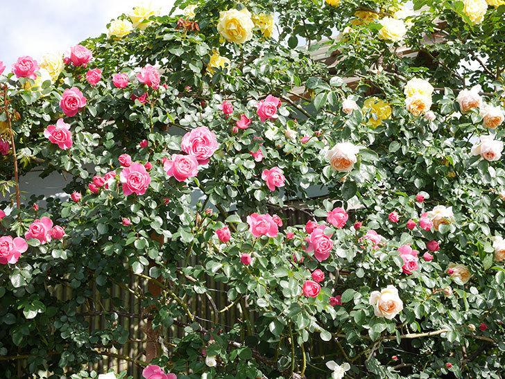 レオナルド・ダ・ヴィンチ(Leonard da Vinci)の花がたくさん咲いた。半ツルバラ。2021年-045.jpg