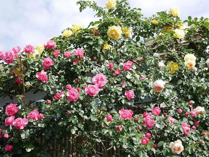 レオナルド・ダ・ヴィンチ(Leonard da Vinci)の花がたくさん咲いた。半ツルバラ。2021年-046.jpg