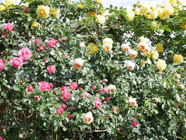 レオナルド・ダ・ヴィンチ(Leonard da Vinci)の花がたくさん咲いた。半ツルバラ。2021年-047.jpg