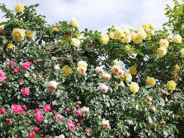 レオナルド・ダ・ヴィンチ(Leonard da Vinci)の花がたくさん咲いた。半ツルバラ。2021年-048.jpg