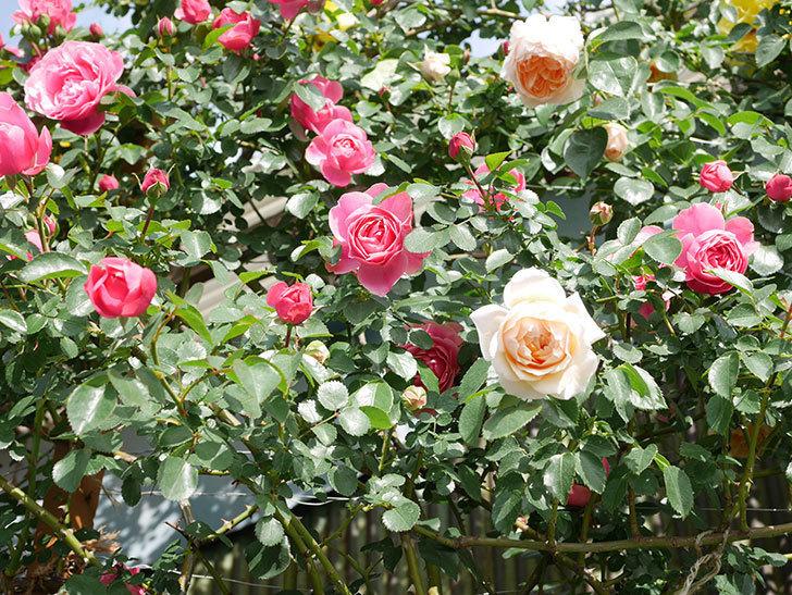 レオナルド・ダ・ヴィンチ(Leonard da Vinci)の花がたくさん咲いた。半ツルバラ。2021年-049.jpg