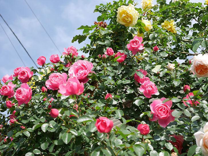 レオナルド・ダ・ヴィンチ(Leonard da Vinci)の花がたくさん咲いた。半ツルバラ。2021年-050.jpg