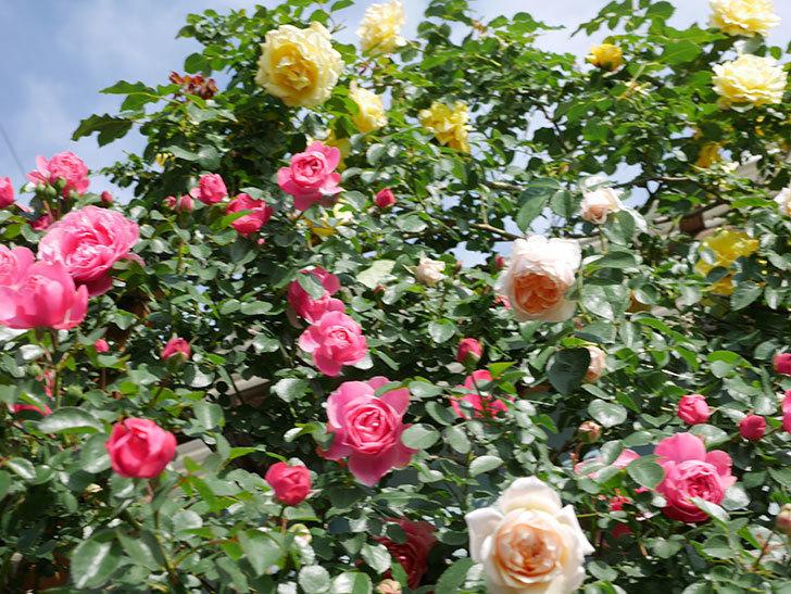 レオナルド・ダ・ヴィンチ(Leonard da Vinci)の花がたくさん咲いた。半ツルバラ。2021年-051.jpg