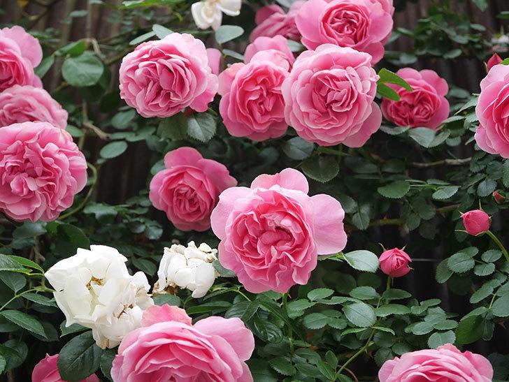 レオナルド・ダ・ヴィンチ(Leonard da Vinci)の花がたくさん咲いた。半ツルバラ。2021年-052.jpg