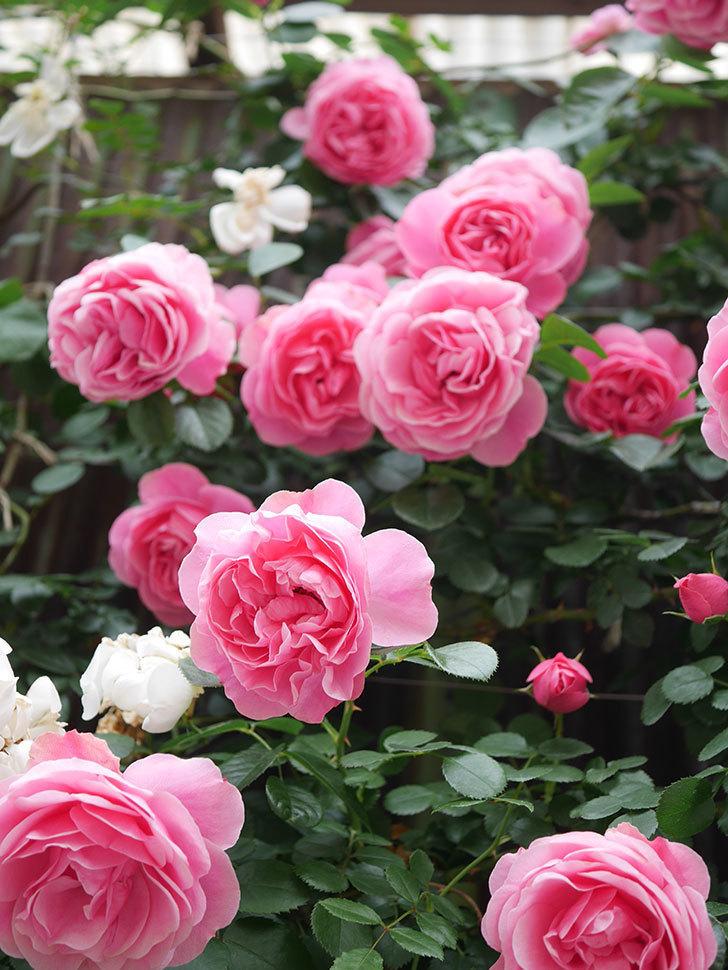 レオナルド・ダ・ヴィンチ(Leonard da Vinci)の花がたくさん咲いた。半ツルバラ。2021年-053.jpg