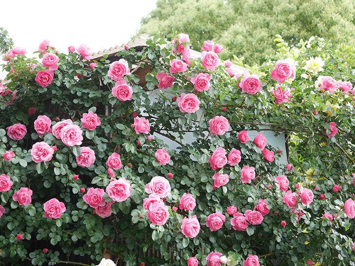 レオナルド・ダ・ヴィンチ(Leonard da Vinci)の花がたくさん咲いた。半ツルバラ。2021年-054.jpg