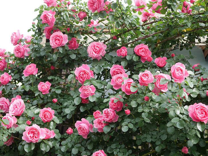 レオナルド・ダ・ヴィンチ(Leonard da Vinci)の花がたくさん咲いた。半ツルバラ。2021年-055.jpg