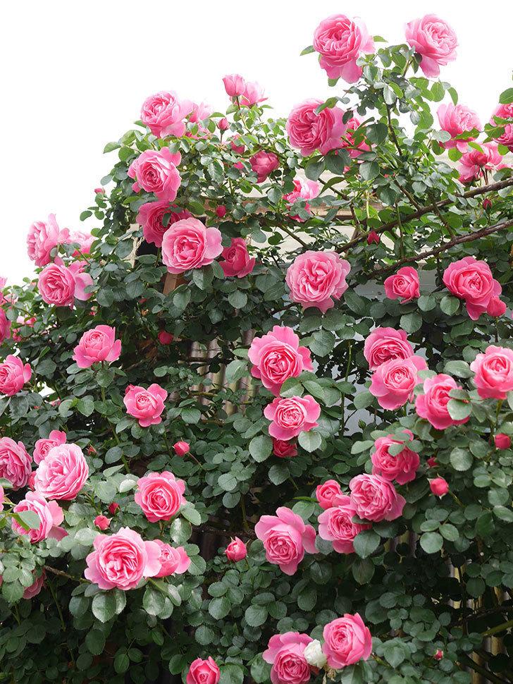 レオナルド・ダ・ヴィンチ(Leonard da Vinci)の花がたくさん咲いた。半ツルバラ。2021年-056.jpg