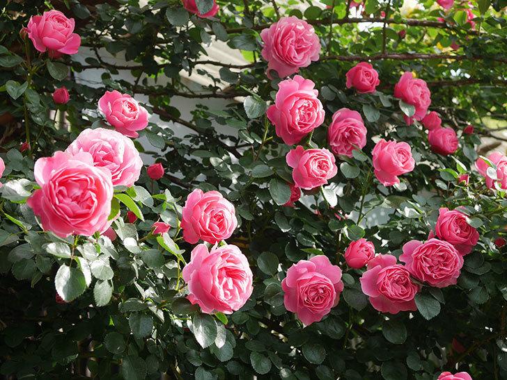 レオナルド・ダ・ヴィンチ(Leonard da Vinci)の花がたくさん咲いた。半ツルバラ。2021年-057.jpg