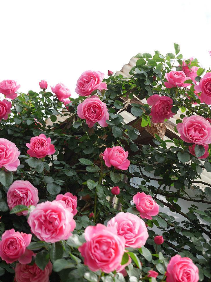 レオナルド・ダ・ヴィンチ(Leonard da Vinci)の花がたくさん咲いた。半ツルバラ。2021年-059.jpg