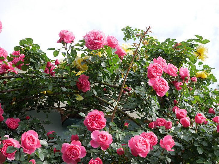 レオナルド・ダ・ヴィンチ(Leonard da Vinci)の花がたくさん咲いた。半ツルバラ。2021年-060.jpg