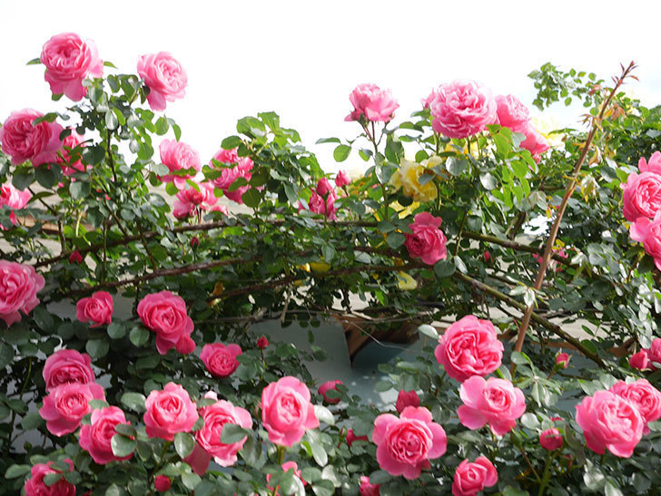 レオナルド・ダ・ヴィンチ(Leonard da Vinci)の花がたくさん咲いた。半ツルバラ。2021年-061.jpg