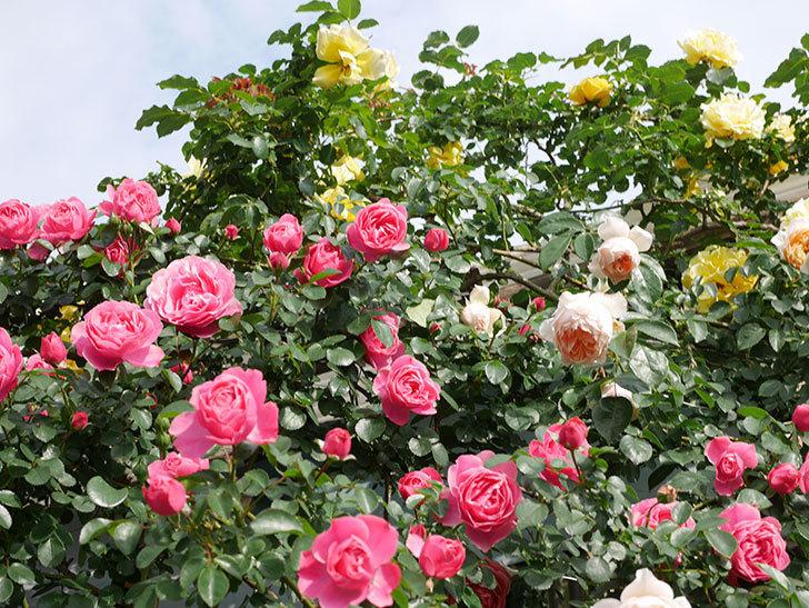 レオナルド・ダ・ヴィンチ(Leonard da Vinci)の花がたくさん咲いた。半ツルバラ。2021年-062.jpg