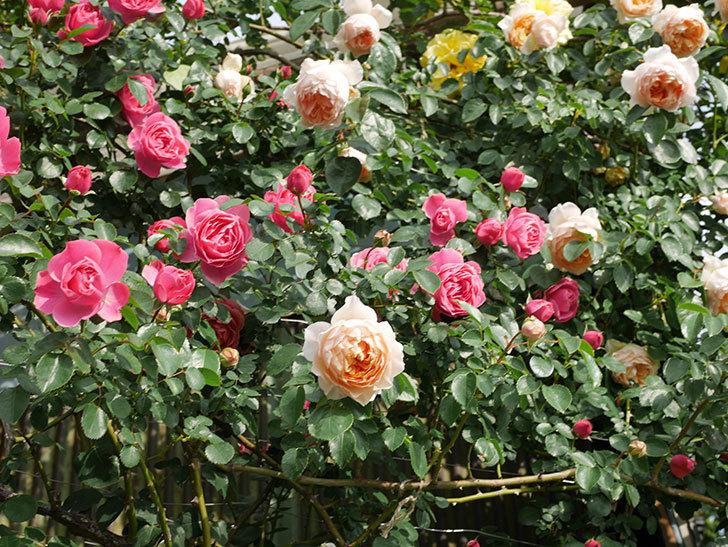 レオナルド・ダ・ヴィンチ(Leonard da Vinci)の花がたくさん咲いた。半ツルバラ。2021年-063.jpg