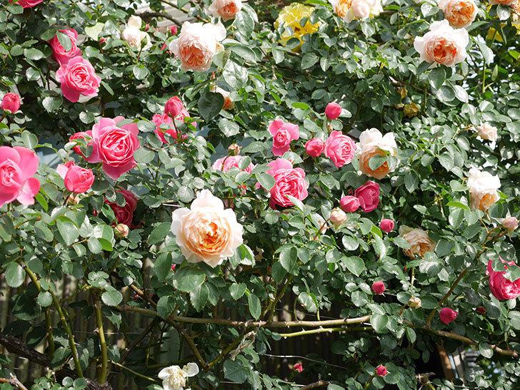 レオナルド・ダ・ヴィンチ(Leonard da Vinci)の花がたくさん咲いた。半ツルバラ。2021年-064.jpg