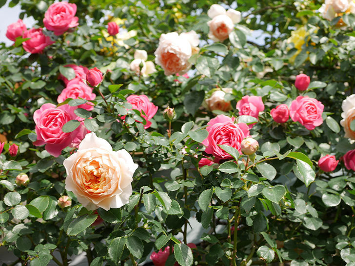 レオナルド・ダ・ヴィンチ(Leonard da Vinci)の花がたくさん咲いた。半ツルバラ。2021年-066.jpg