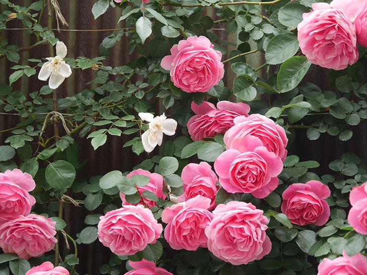 レオナルド・ダ・ヴィンチ(Leonard da Vinci)の花がたくさん咲いた。半ツルバラ。2021年-067.jpg