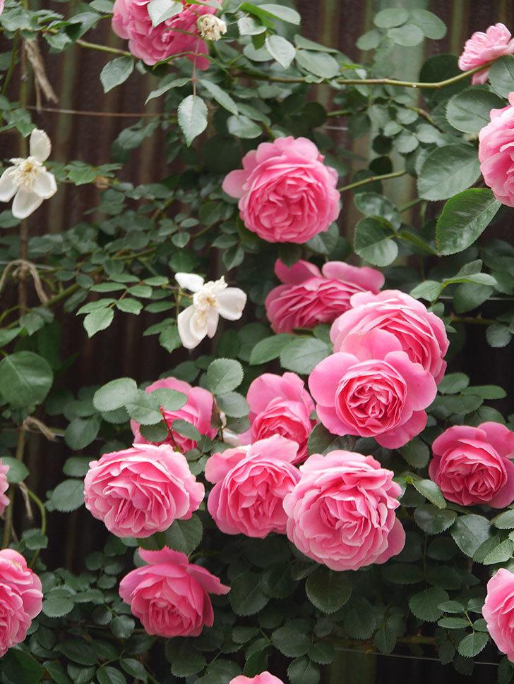 レオナルド・ダ・ヴィンチ(Leonard da Vinci)の花がたくさん咲いた。半ツルバラ。2021年-068.jpg