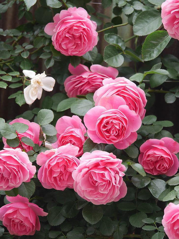 レオナルド・ダ・ヴィンチ(Leonard da Vinci)の花がたくさん咲いた。半ツルバラ。2021年-069.jpg