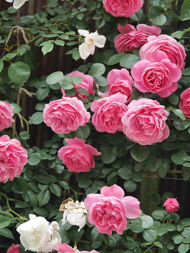 レオナルド・ダ・ヴィンチ(Leonard da Vinci)の花がたくさん咲いた。半ツルバラ。2021年-070.jpg
